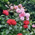 Rosen - Vorgarten - Mix - Sommer 2020 - Nach einem Regen - Franks kleiner Garten