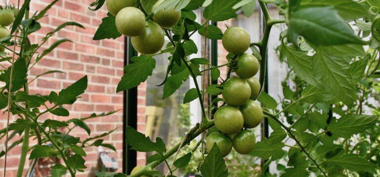 Gewächshaus - Juli - Tomaten - Franks kleiner Garten