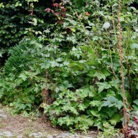Glühwürmchen - Beetrand - Wegrand - Herbstannemone - Buchenhecke - Buchsbaum - Franks kleiner Garten