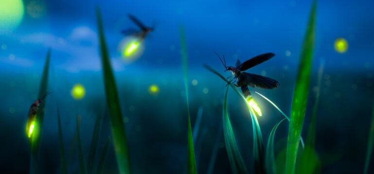 Glühwürmchen - Wiese - Sommer 2020 - Garten - Franks kleiner Gartenjpg