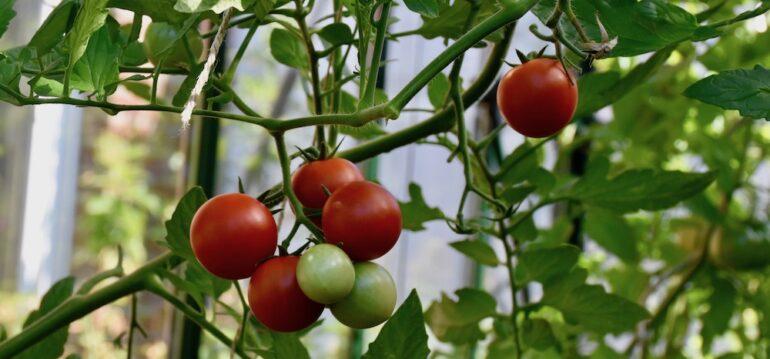Gewächshaus - August - Tomaten - 2020 - Franks kleiner Garten