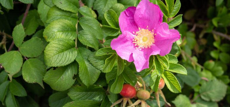 Kartoffelrose - Rosa rugosa - Hagebutten - Augsut - Sommer - Gesundes aus dem Garten - Franks kleiner Garten