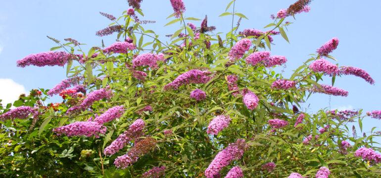 Schmetterlingsflieder - Buddleja - Lila - Flieder - Franks kleiner Garten