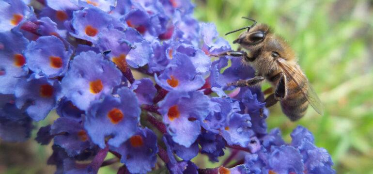 Schmetterlingsflieder - Sommerflieder - Buddleja - Biene - Honigbiene - Wildbiene - Franks kleiner Garten