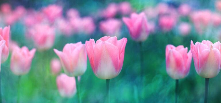 Blumenzwiebeln - Tulpen - Frühling - Pflanzzeit - November - Franks kleiner Garten