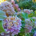 Hortensien - Hydrangea - Garten - Frost - Winter - Franks kleiner Garten