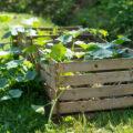 Kompost - Komposthaufen - Kürbis - Franks kleiner Garten