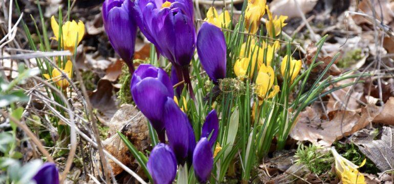 Blumenwiese - Wiese - Krokusse - Blumenzwiebeln - Frühling - November - Franks kleiner Garten