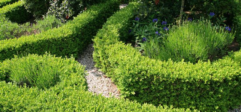 Buchsbaum-Beet- Buchsbaumpflege - Einfassung-Lavendel