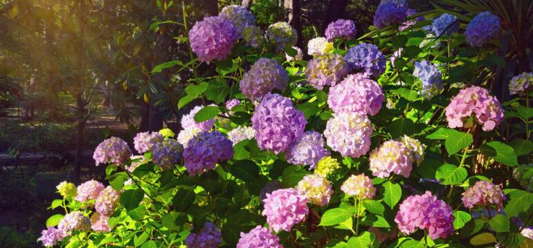 Hortensien - Hydrangea - Ballhortensie – Garten - Morgenstimmung - Franks kleiner Garten