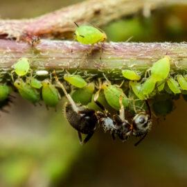 Hortensien - Hydrangea - Blattläuse - Schädlinge - Krankheiten - Franks kleiner Garten