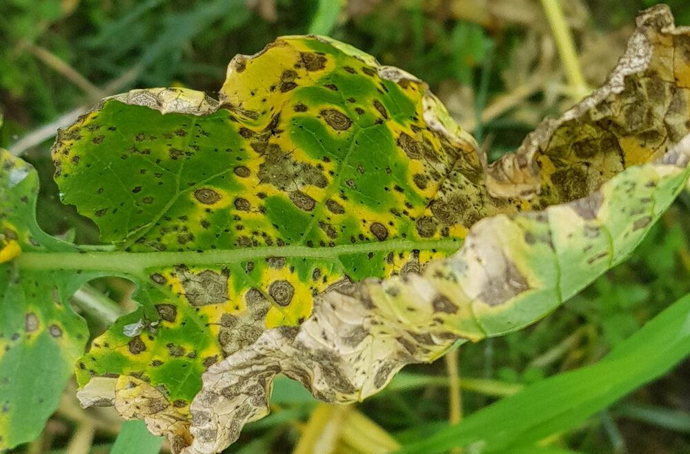 Hortensien - Hydrangea - Schädlinge - Krankheiten - Blattfleckenkrankheit - Franks kleiner Garten