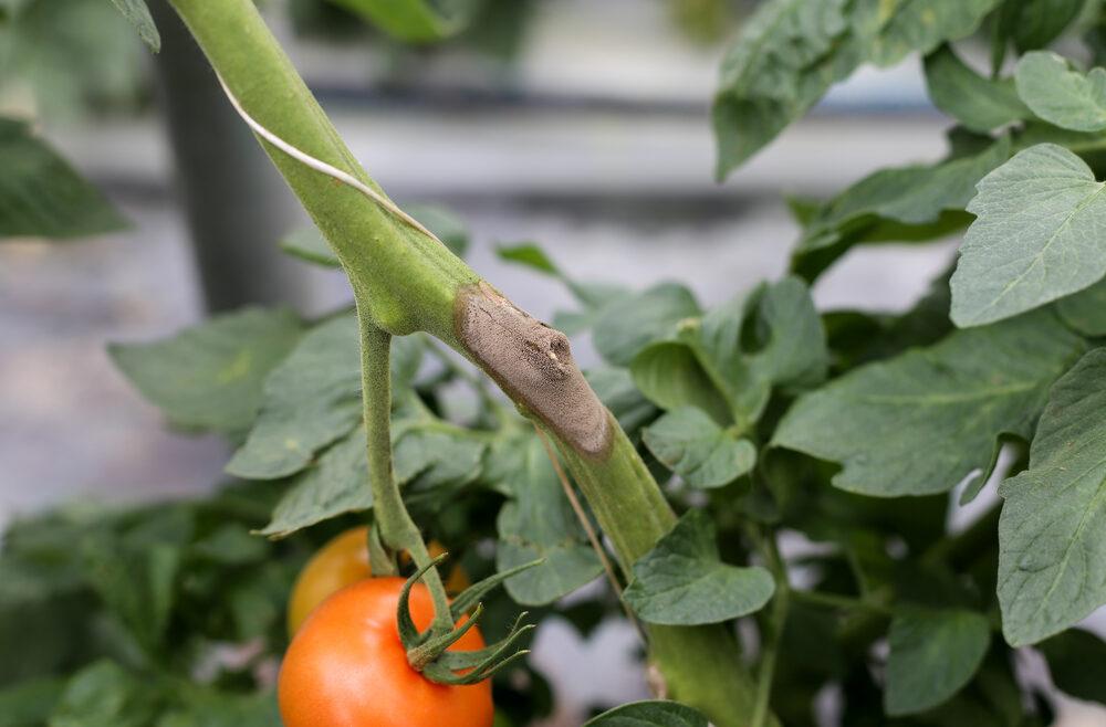 Hortensien - Hydrangea - Tomaten - Schädlinge - Krankheiten Grauschimmel - Franks kleiner Garten