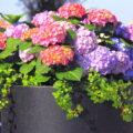 Hortensien - Hydrangea - Topf - Pflanzkübel - Terrasse - Franks kleiner Garten