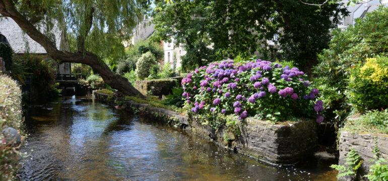 Hortensien - Krankheiten - Garten - Schädlinge - Fluss - Trauerweide - Garten - Franks kleiner Garten.jpg