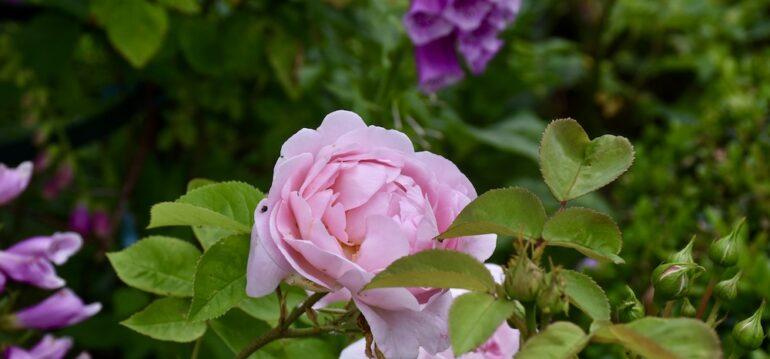 Rosen - Rosenpflege - Frühling - Sommer - Düngen - englische Rose - Franks kleiner Garten