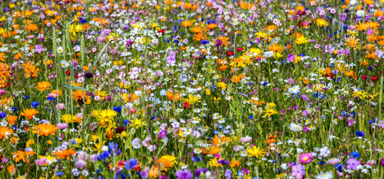 Blumenwiese, Wildblumenwiese, Wildwiese, Frühling, Sommer, Franks kleiner Garten