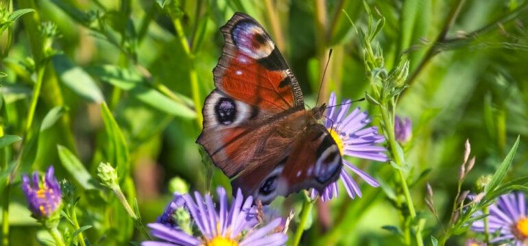 Blumenwiese, Wildblumenwiese, Wildwiese, Schmetterling, Pfauenauge, Franks kleiner Garten