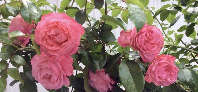 Rosen - Rosa - Hochstamm - Franks kleiner Garten