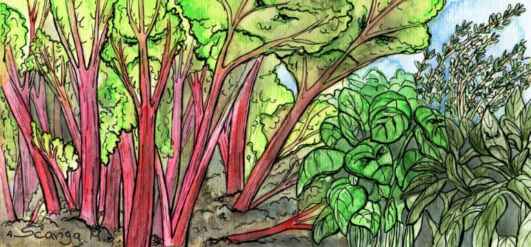 August - Illustration - Rhabarber - Kräuter - Marco - Franks kleiner Garten